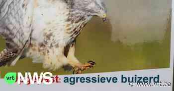 Gemeente Sint-Gillis-Waas zet waarschuwingsborden voor agressieve buizerd(s) - VRT NWS