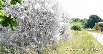 Gespinstmotte oder Eichenprozessionsspinner? Büsche bei Bad Segeberg sind kahl - Kieler Nachrichten