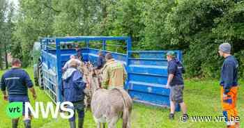 Ezels en paard gered van overstroming in Herne - VRT NWS