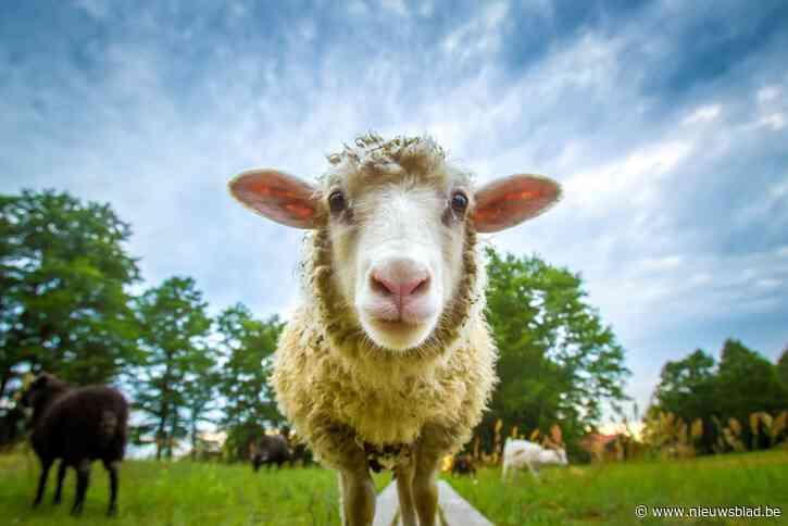 Zes uitgebroken schapen lopen achtertuin in
