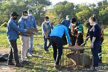 Rescatan a 9 capibaras de recintos contaminados en el barrio San Joaquín - eju.tv