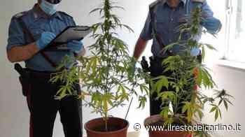 Maiolati Spontini, il sottotetto adibito a serra di marijuana: nei guai 40enne - il Resto del Carlino - il Resto del Carlino