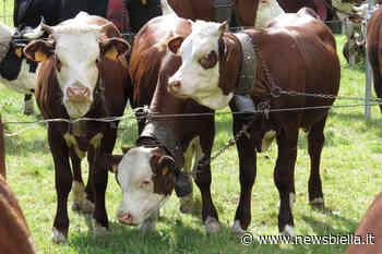 Mucche in giro nella notte a Cossato - newsbiella.it