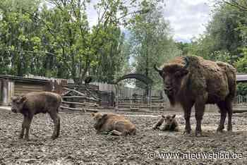 """Bedreigde bizons geboren in dierenpark Bellewaerde: """"Ze worden later in de natuur uitgezet"""" - Het Nieuwsblad"""