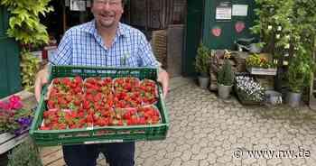 Obsthof Otte öffnet Erdbeerfelder für Selbstpflücker - Neue Westfälische