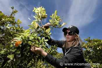 La fleur d'oranger de Vallauris, un concentré de douceur - Nice-Matin