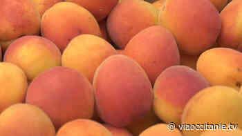 La saison de l'abricot rouge du Roussillon est lancée ! - ViàOccitanie