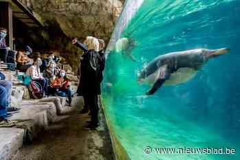 """Pairi Daiza pakt uit met luxueuze pinguïngrot: """"De Zuidpool kennen ze sowieso niet, hé"""" - Het Nieuwsblad"""