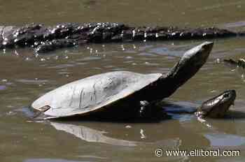 Insólito: quisieron robar una tortuga de la granja La Esmeralda - El Litoral