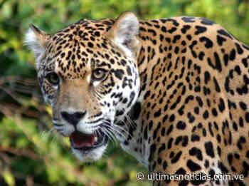 El jaguar del Zulia está en peligro de extinción - Últimas Noticias