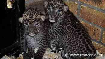 Naissances exceptionnelles au zoo de Maubeuge : deux panthères du Sri Lanka, une espèce en danger d'extinction - France Bleu
