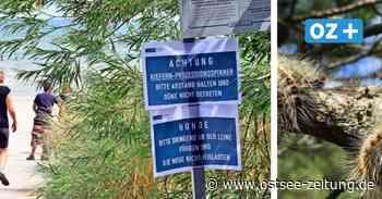 Rügen: Binz warnt vor Kiefernprozessionsspinner – Juckreiz und Schmerzen drohen - Ostsee Zeitung