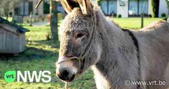 Kinderboerderij Tielt-Winge moet sluiten na klachten over druk verkeer en balkende ezels - VRT NWS