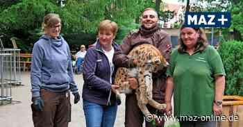 Luckenwalde: Luchse aus dem Tierpark werden in Polen ausgewildert - Märkische Allgemeine Zeitung