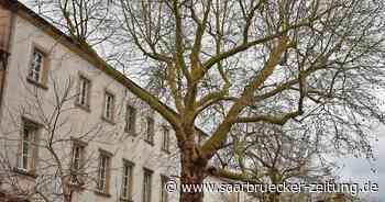 Platane in Apacher Straße in Perl ist Saarländisches Naturdenkmal - Saarbrücker Zeitung