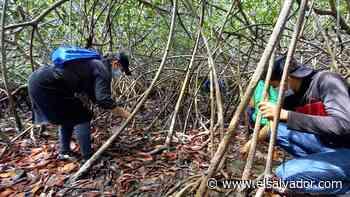 Conchagua: alumnos reforestaron con más de 15,000 plantines de mangle en estero El Tamarindo | Noticias de El Salvador - elsalvador.com