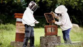 Maubeuge: Deux ruches ont posé leur essaim à la Ferme du zoo - La Voix du Nord