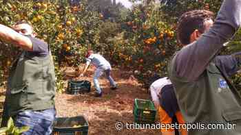 Moradores do Carangola recebem mais de uma tonelada de laranjas e tangerinas doadas por produtor rural   Tribu - Tribuna de Petrópolis