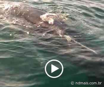 VÍDEO: Baleia fica presa em rede de pesca em Porto Belo - ND Mais