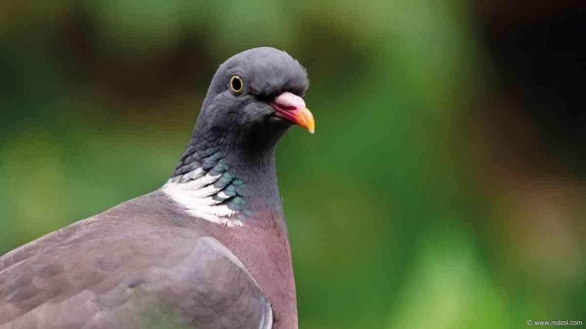 Cómo ahuyentar las palomas del jardín sin dañarlas - MDZ Online