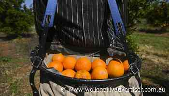 Push to get minimum wage for fruit pickers - Wollondilly Advertiser