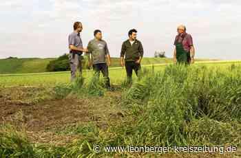 Nach Hagelsturm über Weissach - Landwirte fürchten Ernteausfälle - Leonberger Kreiszeitung