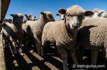 Exitosa estrategia protege a las ovejas en Torres del Paine - El Pingüino