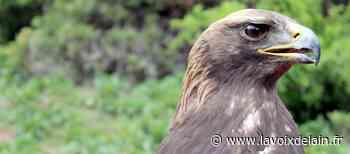 Saint-Claude - Naissance d'un aigle royal, une première depuis 170 ans ! - La Voix de l'Ain