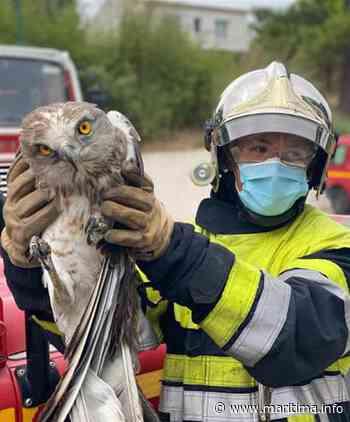 Les pompiers ont volé au secours d'un Aigle de Bonelli - Allauch - Nature - Maritima.info