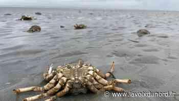À Wimereux, un échouage d'araignées de mer qui interpelle - La Voix du Nord