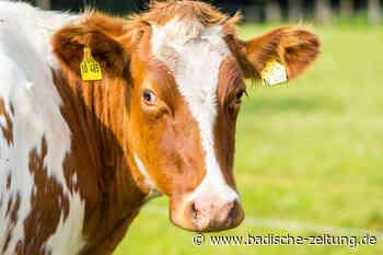 Das Schlachthaus vor Ort macht lange Tiertransporte überflüssig - Titisee-Neustadt - Badische Zeitung
