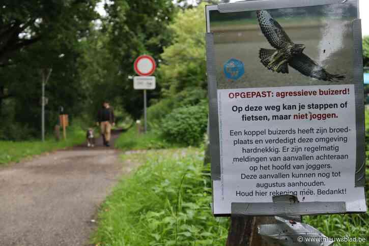 Buizerd valt opnieuw loper aan in Stropersbos