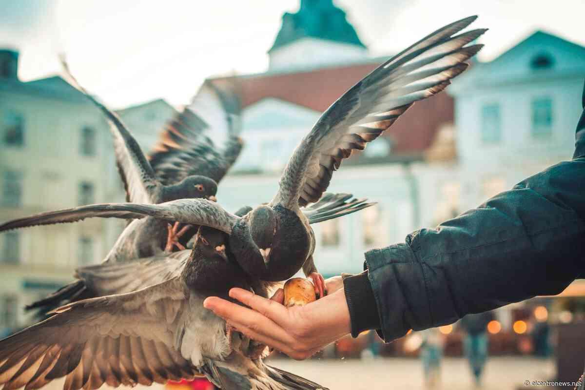 Toronto estudia una propuesta para prohibir alimentar a las palomas - El Centro News