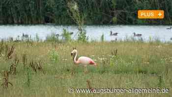 Von Südamerika in den Kreis Dillingen: Ein Flamingo taucht im Donauried auf - Augsburger Allgemeine