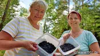 Gutes Heidelbeerjahr in den Wäldern bei Lichtenau - Ostthüringer Zeitung