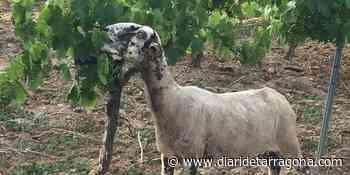 Viñas y ovejas, todos ganan el Baix Penedès - Diari de Tarragona