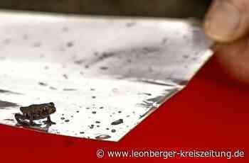 Froschregen in Weissach - Völkerwanderung der Amphibien - Leonberger Kreiszeitung