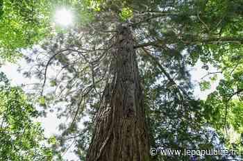Deux séquoias et un cèdre dominent le quartier du Roussillon à Limoges - lepopulaire.fr
