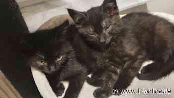 Tierschutz in Finsterwalde: Software-Firma in Massen zeigt großes Herz für Katzenbabys - Lausitzer Rundschau