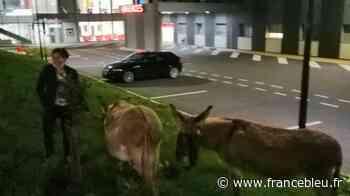Saint-Cyr-sur-Loire : les deux ânes en errance finissent attachés aux urgences de la clinique de l'Alliance - France Bleu