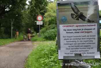 Buizerd valt opnieuw loper aan in Stropersbos (Sint-Gillis-Waas) - Het Nieuwsblad