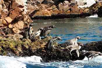 Otorgan sello internacional 'Safe Travels' a la Reserva Nacional de Paracas ya las Islas Ballestas - El Peruano