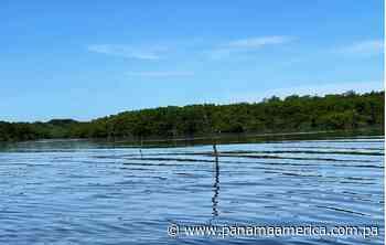 Investigan la instalación de estacas de mangle para la pesca ilegal en un área protegida de Chiriquí - Panamá América