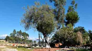 Cajamarca: Municipalidad de Cajabamba oficializa al capulí de Bolívar como árbol patrimonial - LaRepública.pe