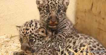 Zwei Jaguarmädchen kamen im Zoo Salzburg auf die Welt - KURIER