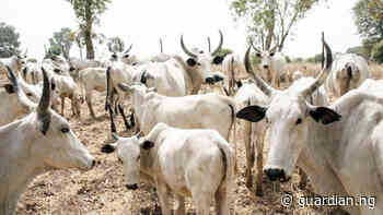 Yobe introduces cattle tax to improve security, IGR - Guardian