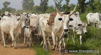 Yobe introduces cattle tax 'to tackle rustling' - TheCable
