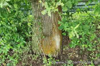 Gefährliche Spinner-Raupen sind auch in Westhofen an den Bäumen - Ruhr Nachrichten