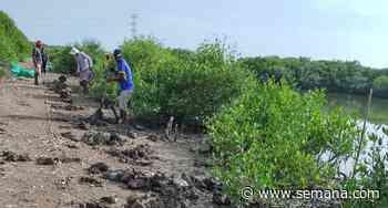Siembran 1.000 árboles de mangle en los alrededores de la ciénaga de la Virgen, en Cartagena - Revista Semana