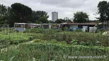 Jardinage et météo erratique (2) : à Haubourdin, ils plantent des patates douces - La Voix du Nord